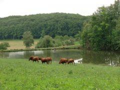 les vaches race salers de la ferme