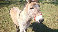 Carotte l'âne de Colombier
