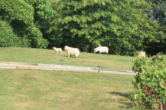 Les gentils moutons