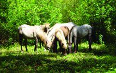 Les chevaux camaguais