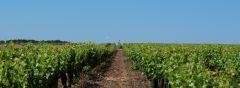 Les vignes à perte de vue