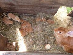 les lapins tondeuse