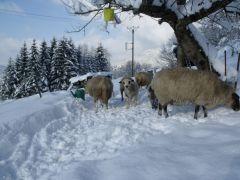 Les moutons du Domaine