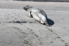 Un des nombreux phoques de la baie
