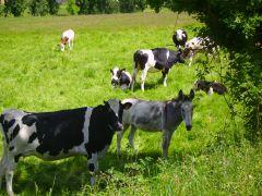Nos vaches et