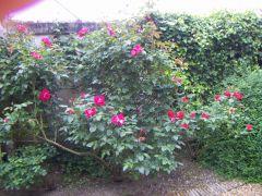 rosiers dans la cour