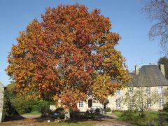 Couleurs d'automne: le chêne du Canada